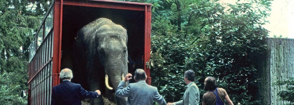 Der Asiatische Elefant Maxi 1981 bei der Ankunft im Zoo Zürich.