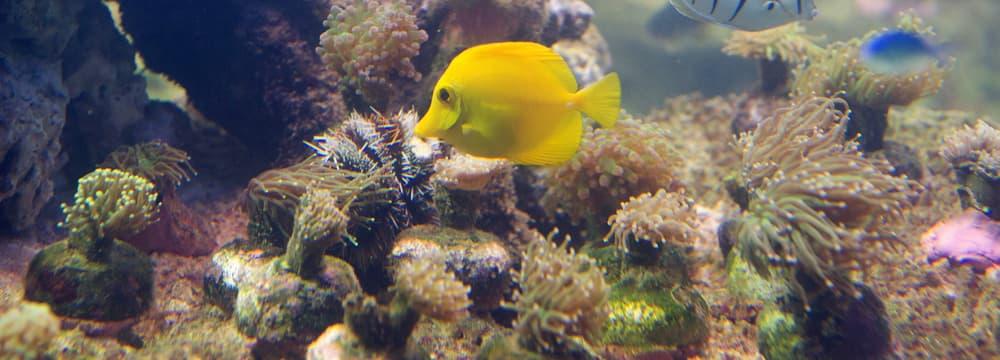 Gelber Segelflosser im Aquarium des Zoo Zürich.