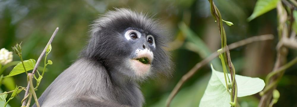 Südlicher Brillenlangur im Kaeng Krachan Nationalpark in Thailand