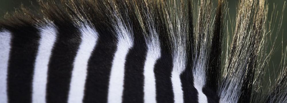 Streifen und Mähne eines Zebras.
