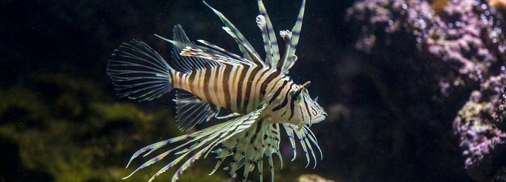 Rotfeuerfisch im Zoo Zürich.
