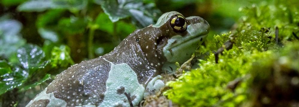 Baumhöhlen-Krötenlaubfrosch