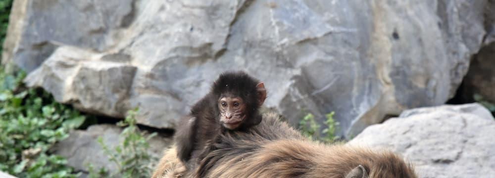 Junger Dschelada im Zoo Zürich.