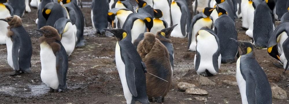Königspinguin mit Forschungssender