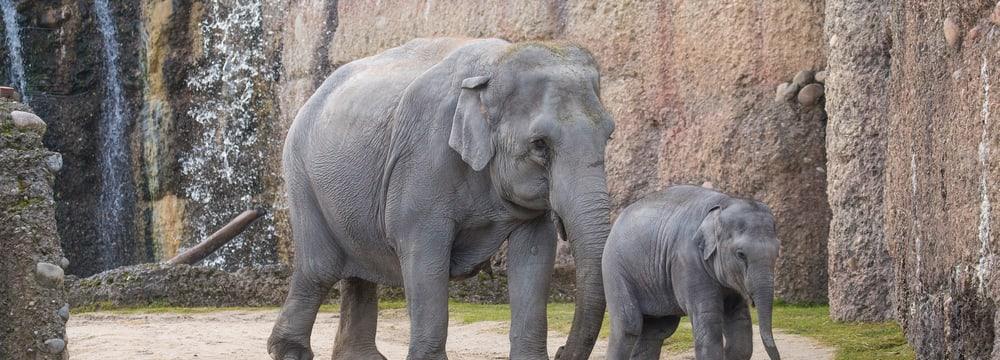Asiatische Elefanten Ceyla-Himali und Ruwani im Kaeng Krachan Elefantenpark im Zoo Zürich.