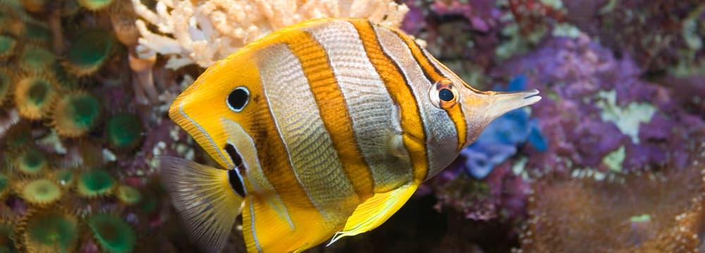 Kupferbinden-Pinzettfisch im Zoo Zürich.