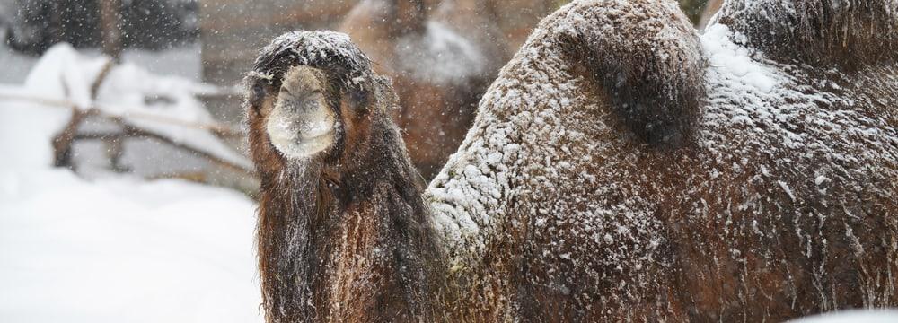 Trampeltier im Schnee im Zoo Zürich am 15.1.2021.