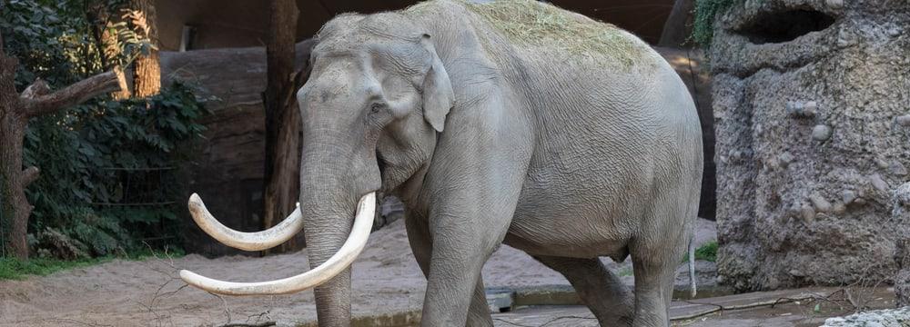 Asiatischer Elefant Maxi im Zoo Zürich.