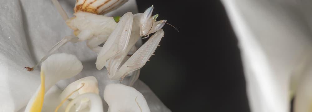 Orchideenmantis.