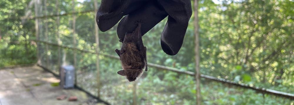 Fledermaus in der Voliere fürs Flugtraining.