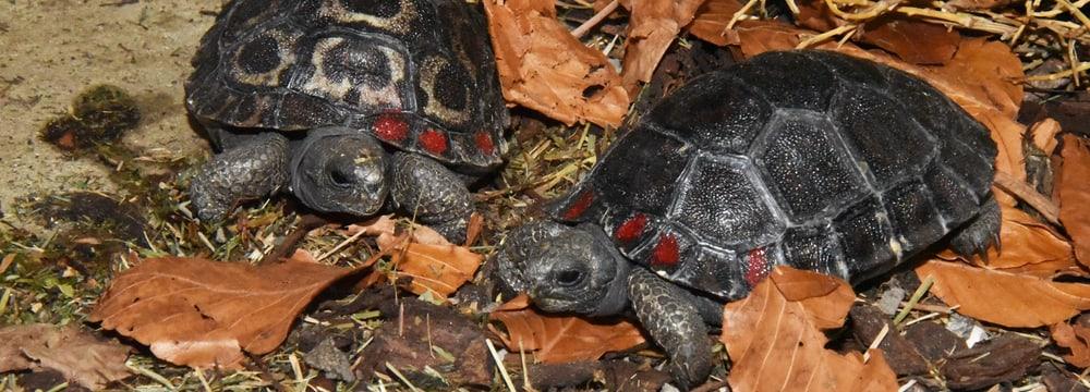 Junge Galapagos-Riesenschildkröten im Zoo Zürich.