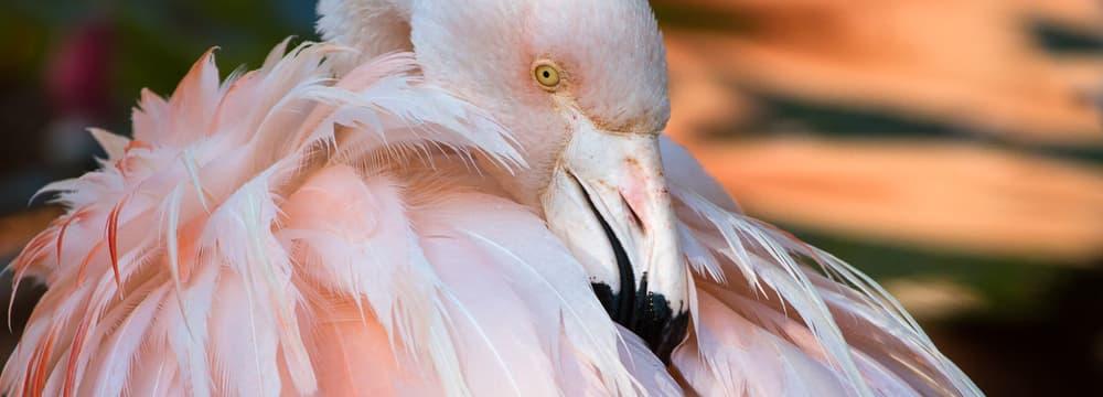 Chile-Flamingo im Zoo Zürich