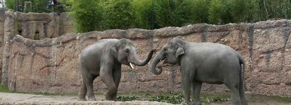 Asiatische Elefanten Farha und Thai im Kaeng Krachan Elefantenpark im Zoo Zürich