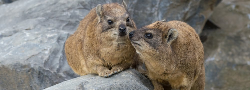 Kap-Klippschliefer im Zoo Zürich.