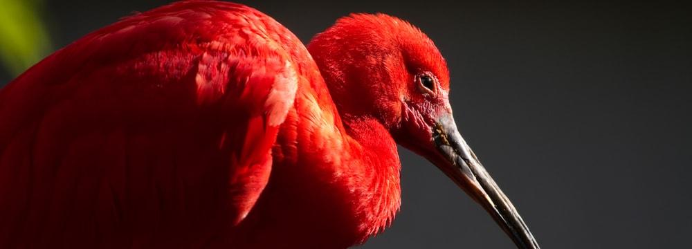 Roter Ibis im Zoo Zürich.