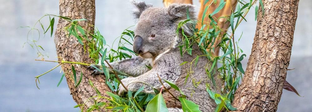 Koala Mikey in der Australien-Aussenanlage im Zoo Zürich.