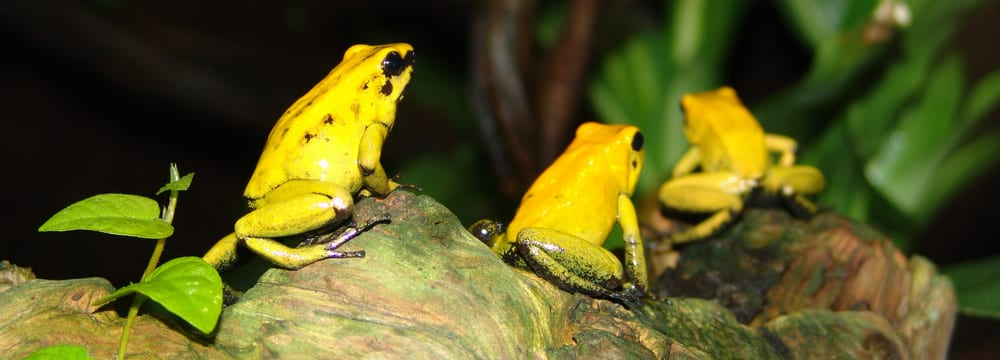 Goldener Pfeilgiftfrosch im Zoo Zürich.