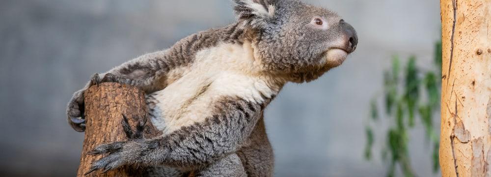 Koala Mikey im Zoo Zürich.