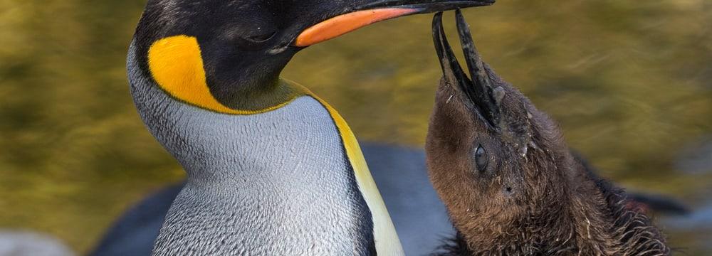 Königspinguin mit Jungtier im Zoo Zürich.