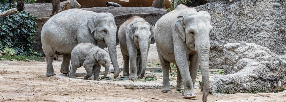 Asiatische Elefanten Chandra, Umesh, Omysha und Indi im Kaeng Krachan Elefantenpark.