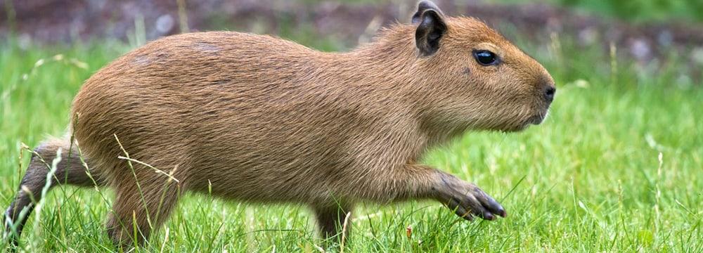 Capybara im Zoo Zürich.