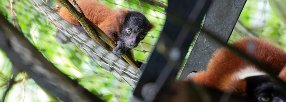 Junger Roter Vari im Masoala Regenwald im Zoo Zürich.