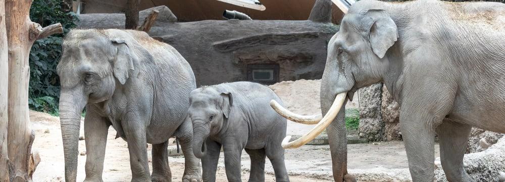 Asiatische Elefanten im Kaeng Krachan Elefantenpark im Zoo Zürich.