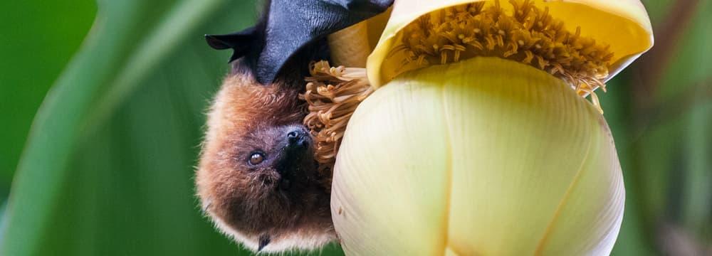 Rodrigues-Flughund im Masoala Regenwald im Zoo Zürich