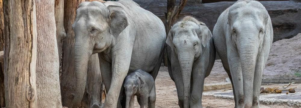 Asiatische Elefanten Indi, Umesh, Omysha und Chandra im Zoo Zürich.