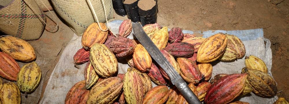 Kakaoanbau in Madagaskar.
