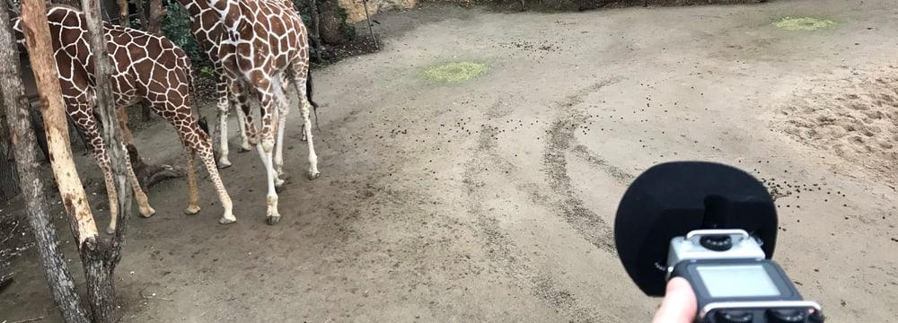 Töne einfangen im Lewa Giraffenhaus.