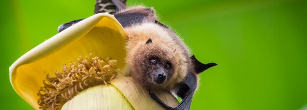 Rodrigues-Flughund auf einer Bananenblüte im Masoala Regenwald des Zoo Zürich