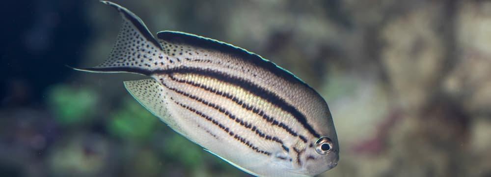 Lamarcks Lyrakaiserfisch