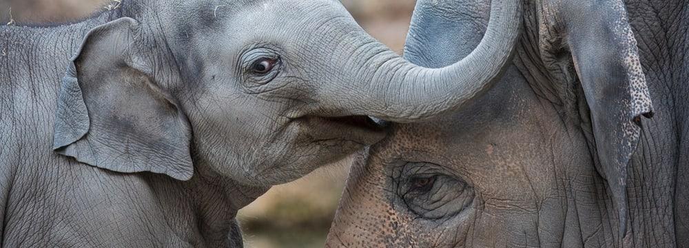 Asiatischer Elefant im Zoo Zürich