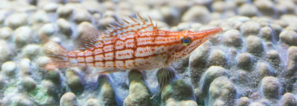 Langschnäuziger Korallenwächter