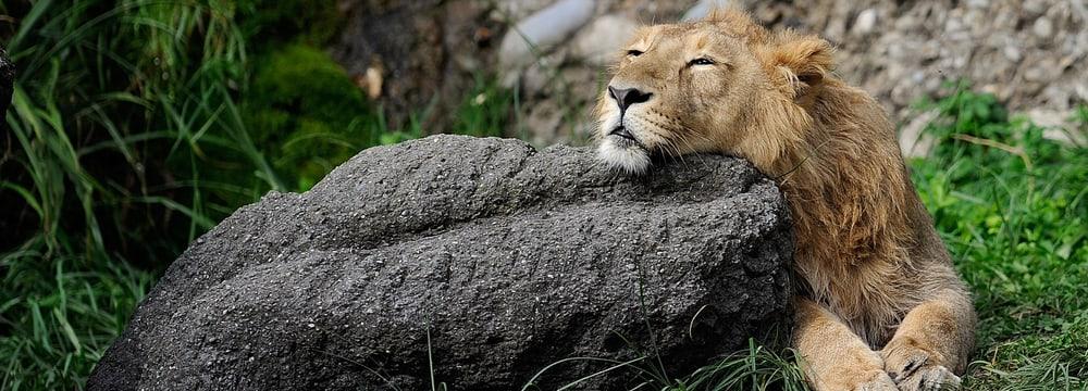 Indischer Löwe im Zoo Zürich