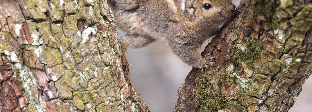 Chinesisches Baumstreifenhörnchen im Zoo Zürich