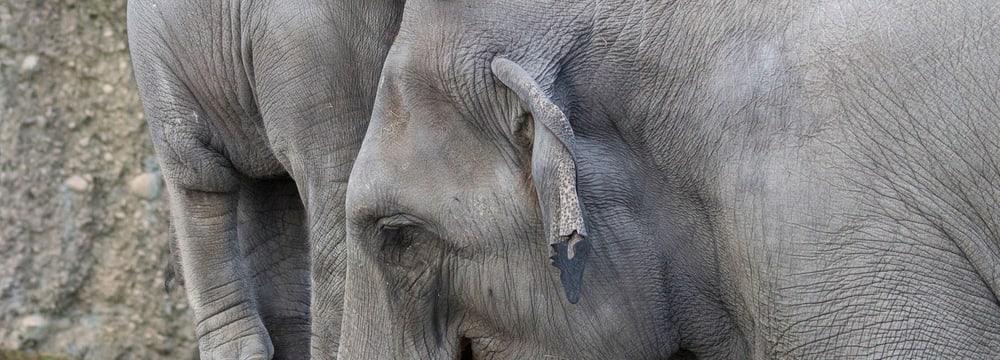 Asiatische Elefanten Ruwani und Farha im Kaeng Krachan Elefantenpark im Zoo Zürich.