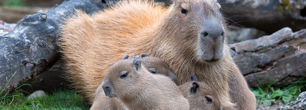 Junge Capybaras im Pantanal des Zoo Zürich.
