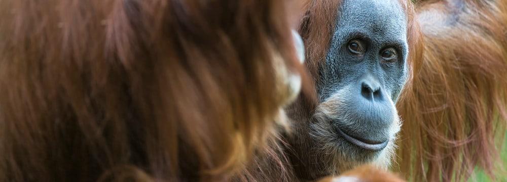 Sumatra-Orang-Utan Lea im Zoo Zürich.
