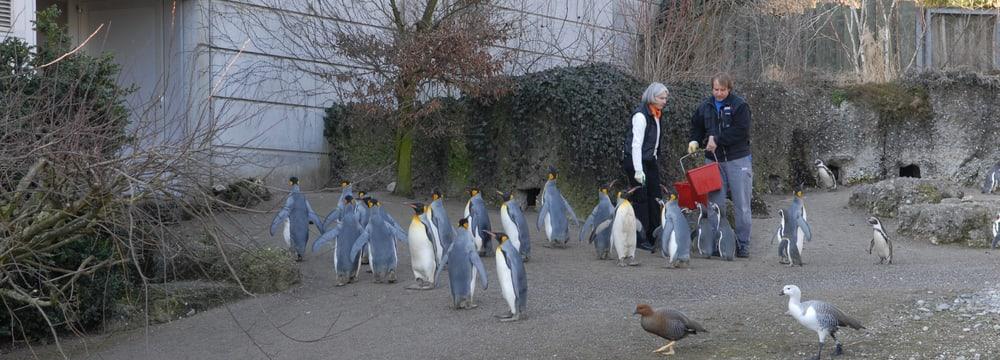 Erlebnisgutschein Pinguin im Zoo Zürich