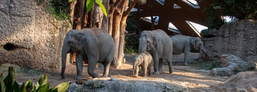 Asiatische Elefanten Omysha, Umesh, Chandra und Indi im Kaeng Krachan Elefantenpark des Zoo Zürich.