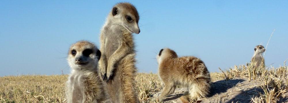 Erdmännchen in Botswana.