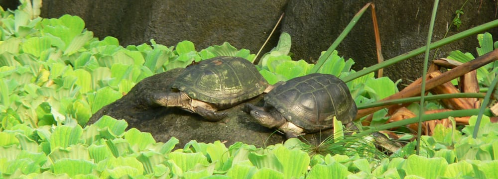 Dunkle Pelomedusen-Sumpfschildkröten im Zoo Zürich.