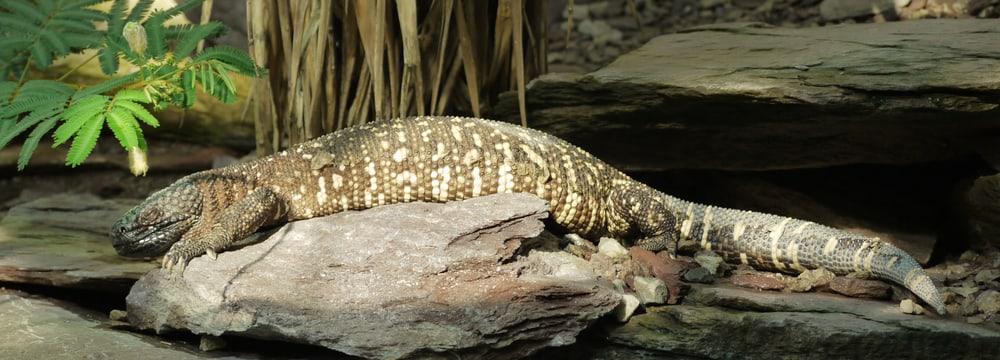 Skorpion-Krustenechse im Zoo Zürich.