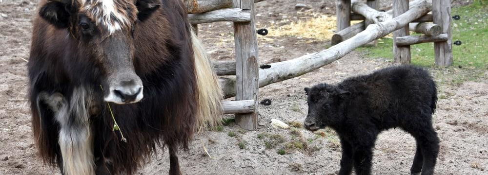 Junger Hausyak in der Mongolischen Steppe im Zoo Zürich.