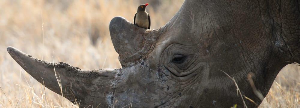 Breitmaulnashorn mit Madenhacker im Lewa Wildlife Conservancy in Kenia.