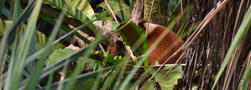 Roter Vari im Masoala Regenwald im Zoo Zürich.
