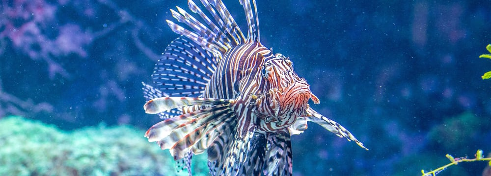 Pazifischer Rotfeuerfisch im Aquarium des Zoo Zürich.