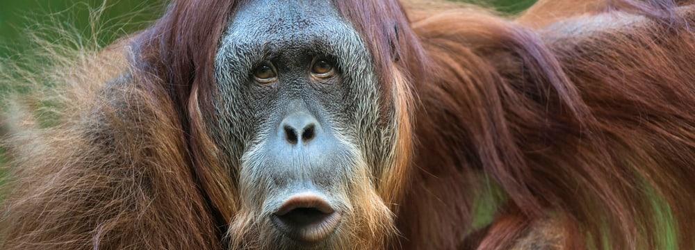 Sumatranischer Orang-Utan